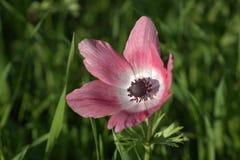 银莲花属圣地玫瑰色春天 库存图片