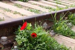 银莲花属在路轨旁边在春天开花 免版税库存图片