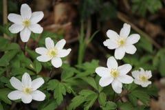 银莲花属在Lelingen,卢森堡 免版税库存照片