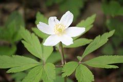 银莲花属在Lelingen,卢森堡 免版税库存图片