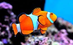 银莲花属小丑鱼 库存图片