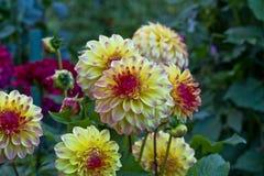银莲花属开花的大丽花花 库存图片