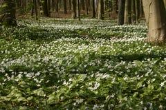 银莲花属成长殖民地在春天森林5 免版税图库摄影