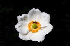 银莲花属日语 免版税库存图片