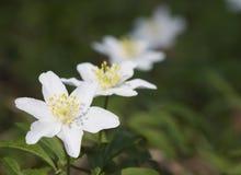 银莲花属木头 库存图片