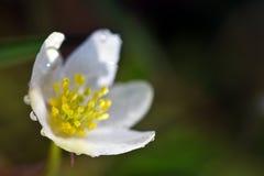 银莲花属木头 图库摄影