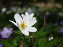 银莲花属木头 库存照片