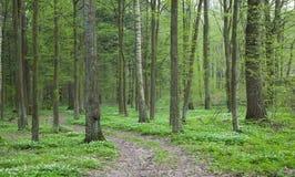 银莲花属森林路径春天木头 免版税库存照片