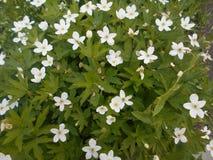 银莲花属橡木树丛 库存图片
