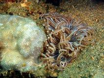 银莲花属水族馆没有被采取的海运通配 免版税库存照片
