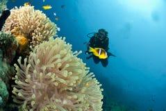 银莲花属潜水员男性观察的水肺海运 免版税库存照片