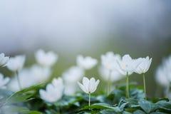 银莲花属白色第一朵花  免版税库存图片