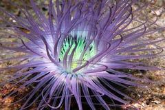银莲花属管 库存图片
