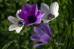 银莲花属紫色春天白色 库存照片