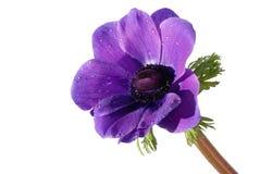 银莲花属花紫色 免版税图库摄影