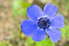 银莲花属蓝色和紫色 免版税图库摄影