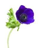 银莲花属蓝色黑暗 库存图片