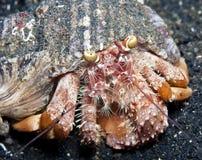 银莲花属螃蟹隐士 库存图片
