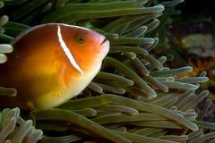 银莲花属鱼印度尼西亚nemo sulawesi 库存图片