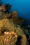 银莲花属鱼印度尼西亚sulawesi 库存图片