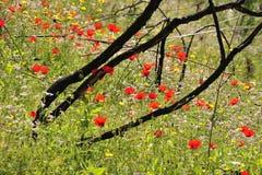 银莲花属黑色红色木头 免版税库存图片