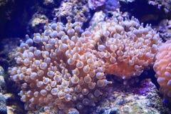 银莲花属水族馆没有被采取的海运通配 免版税库存图片