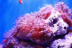 银莲花属水族馆没有被采取的海运通配 库存图片