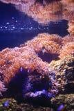 银莲花属水族馆没有被采取的海运通配 库存照片