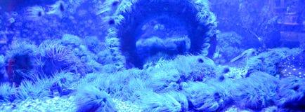银莲花属水族馆没有被采取的海运通配 图库摄影