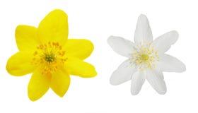 银莲花属 库存图片