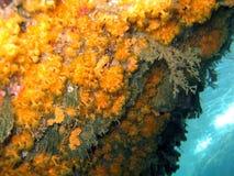 银莲花属axinellae parazoanthus海运 免版税图库摄影