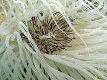 银莲花属cerianthus sp管 图库摄影