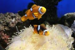 银莲花属clownfish海运 库存图片
