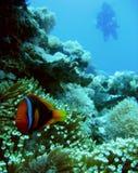 银莲花属clownfish潜水员菲律宾水肺 库存照片