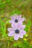 银莲花属coronaria宏观在顶面优质印刷品的花在开花背景中和墙纸 免版税库存图片