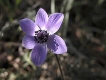 银莲花属coronaria 库存照片