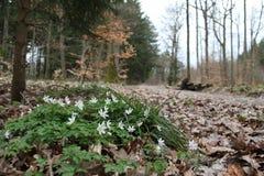 银莲花属nemorosa在森林里 免版税库存图片