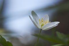 银莲花属nemorosa木头 库存图片