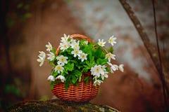 银莲花属nemorosa美丽的花束在篮子的 库存照片