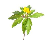 银莲花属ranunculoides木头黄色 库存照片