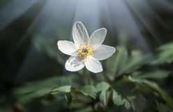 银莲花属sylvestris。第一朵春天花 免版税图库摄影