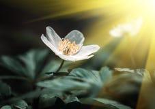 银莲花属sylvestris。第一朵春天花 免版税库存图片