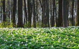 银莲花属sylvestris盖了整个草甸 免版税库存照片