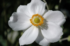 银莲花属x hybrida 'Honorine Jobert' 库存照片
