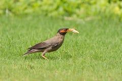 银行吉了鸟捕食的昆虫 免版税库存图片