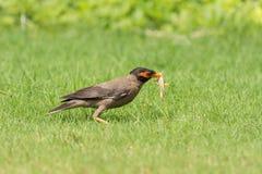 银行吉了鸟捕食的蝗虫 免版税库存图片