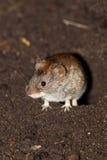 银行属glareolus田鼠 库存图片