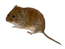 银行属glareolus田鼠 库存照片
