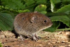 银行田鼠-属glareolus 库存图片