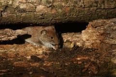 银行田鼠& x28; Myodes glareolus& x29; 免版税库存图片